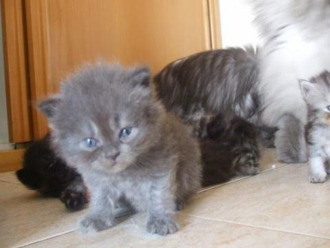 criar gatos