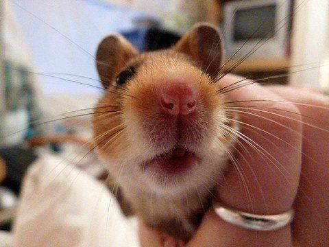 un hamster bebe
