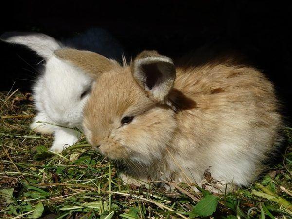 Conejo enano: características y cuidados - AnimalesMascotas