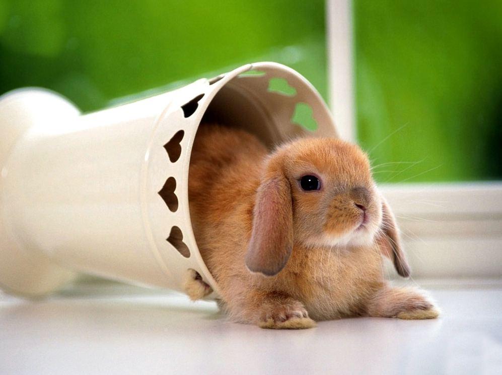 Conejo enano caracter sticas y cuidados animalesmascotas - Casas para conejos enanos ...