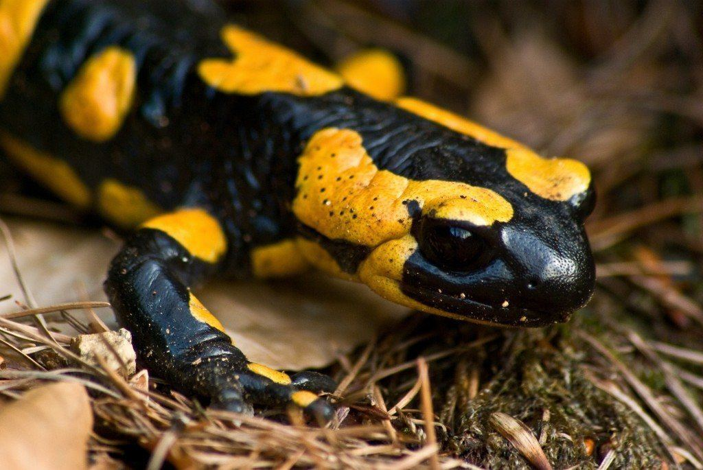 La salamandra como mascota - AnimalesMascotas