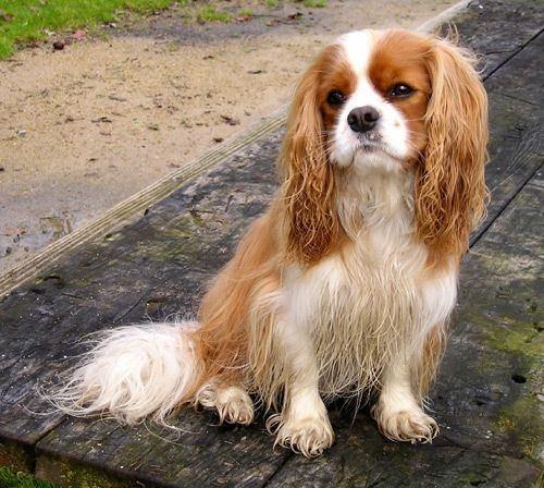 perros-de-raza-pequena-King-Charles-Spaniel