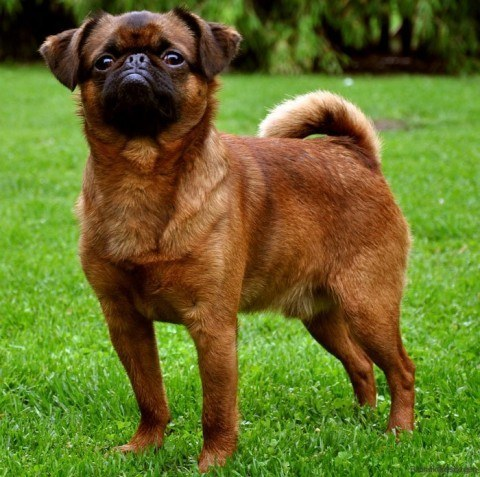 perros-de-raza-pequena-Petit-Brabançon