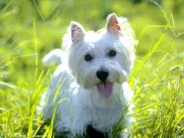 perros-de-raza-pequena-West-Highland-White-Terrier