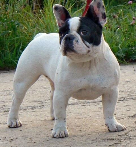 perros-de-raza-pequena-bulldog-frances