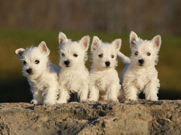 perros-de-raza-pequena