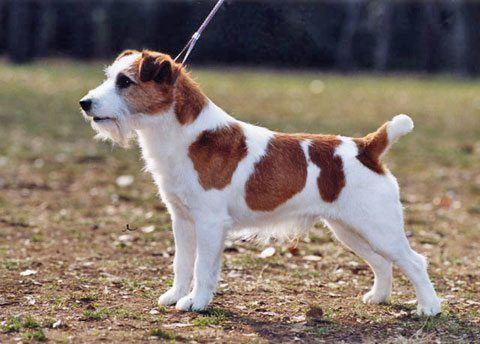 perros-de-raza-pequena-jack-russell-terrir