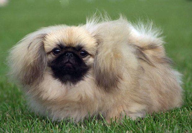perros-de-raza-pequena-pequines