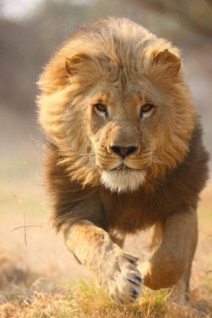 animales salvajes leon