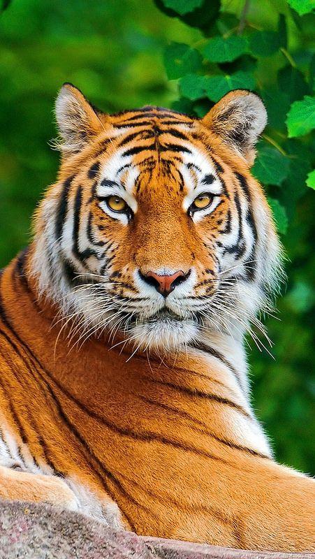 animales salvajes tigre