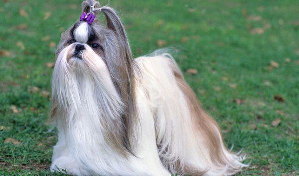 Fotos De Perros De Raza Shih Tzu Animalesmascotas