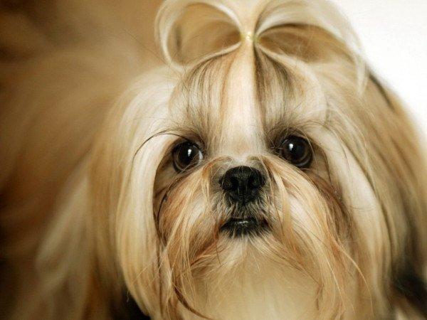 fotos-perros-de-raza-shih-tzu-pelo-largo