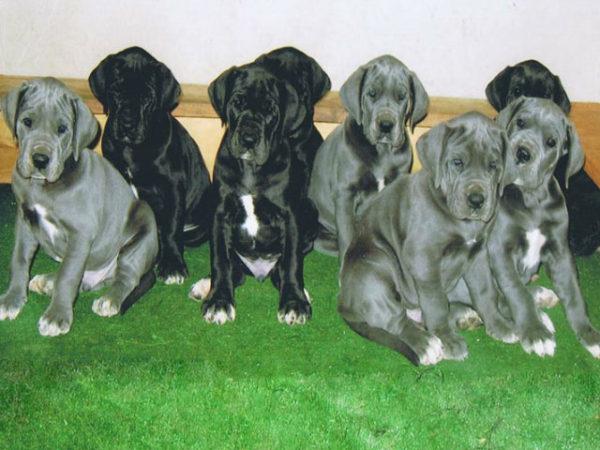 gran-danes-cachorros
