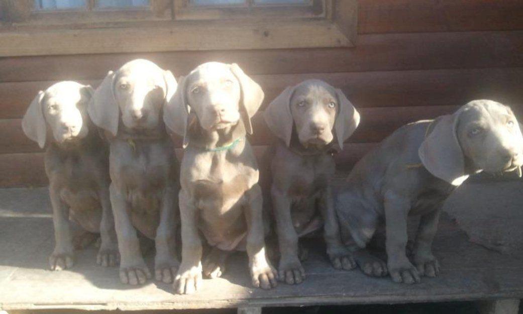 Cachorros-Weimaraner-Braco-Weimar