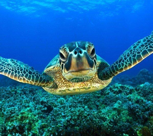animales-marinos-tortuga