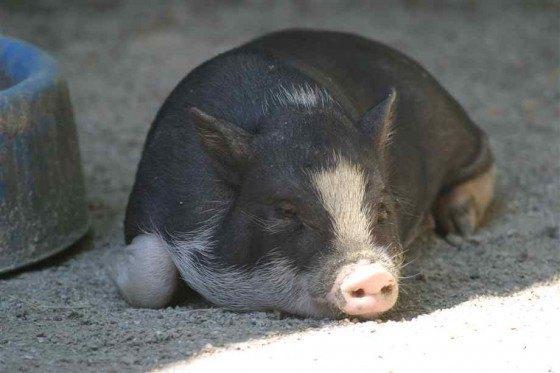 cerdo-durmiendo