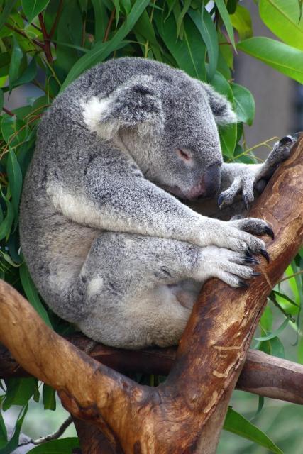 koala-durmuiendo