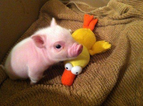 los-9-animales-mas-monos-del-mundo-cerdo