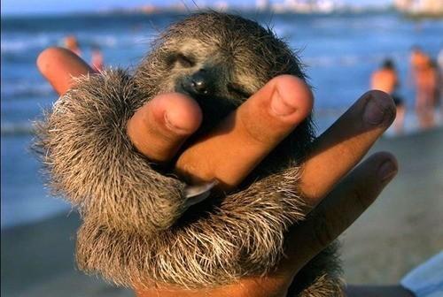 los-9-animales-mas-monos-del-mundo-oso-perezoso