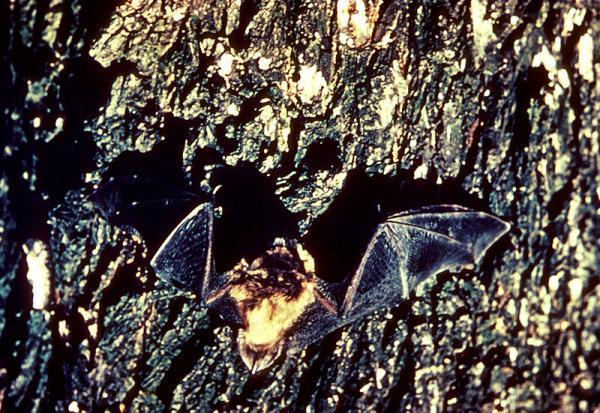 murciélago-durmiendo