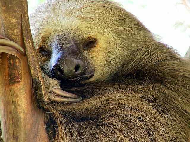 oso perezoso durmiendo