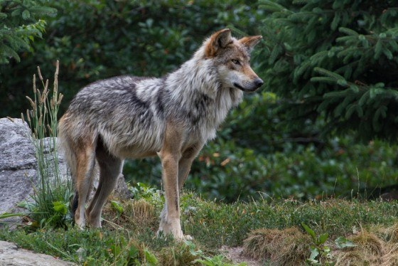 lobo-mexicano-gris