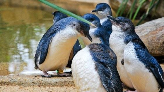 Pingüino de hadas, la especie de pingüino más pequeña de la Tierra Pinguino-de-hadas-11-e1374469776292