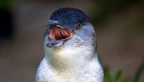 Pingüino de hadas, la especie de pingüino más pequeña de la Tierra Pinguino-de-hadas-7-e1374469441868