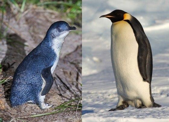pinguino-de-hadas-y-emperador