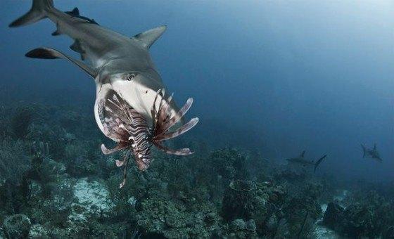 tiburon-comiendo-pez-leon