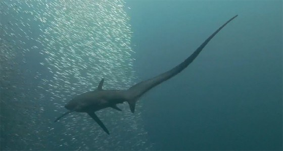 tiburon-caza-con-la-cola