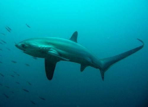 tiburon-zorro