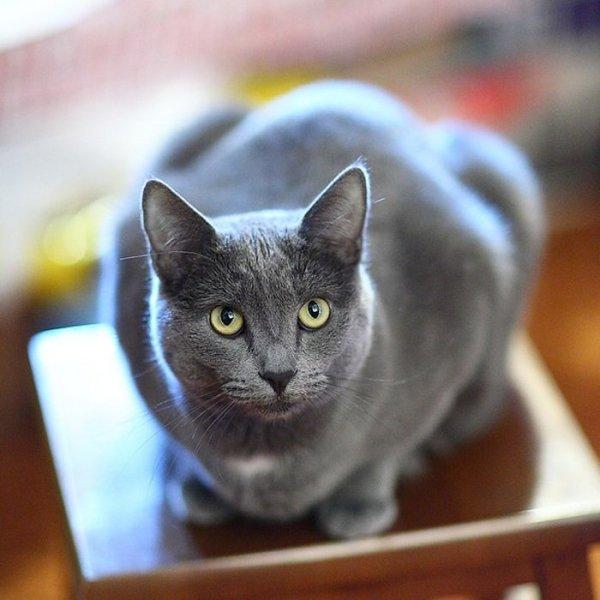 Gatos Azul Ruso-comportamiento