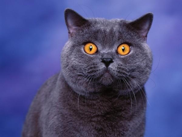 Gatos Azul Ruso-salud