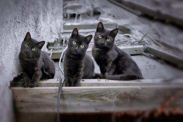 Gato bombay mininos