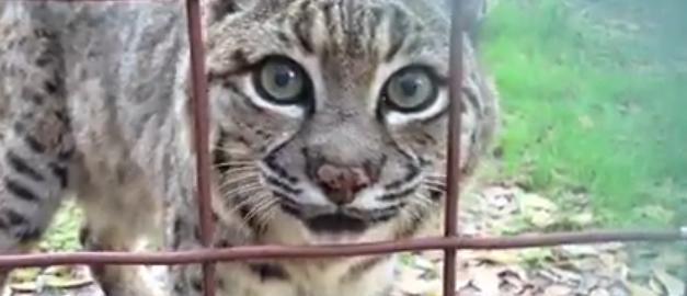 Graciosas Reacciones de Grandes Felinos Graciosas-reacciones-de-grandes-felinos-ejemplar-asustado
