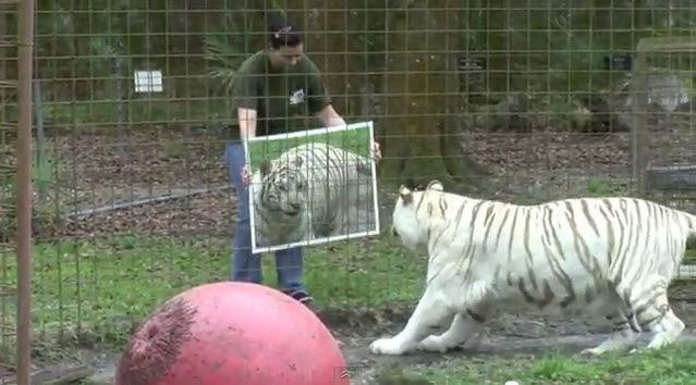 graciosas-reacciones-de-grandes-felinos