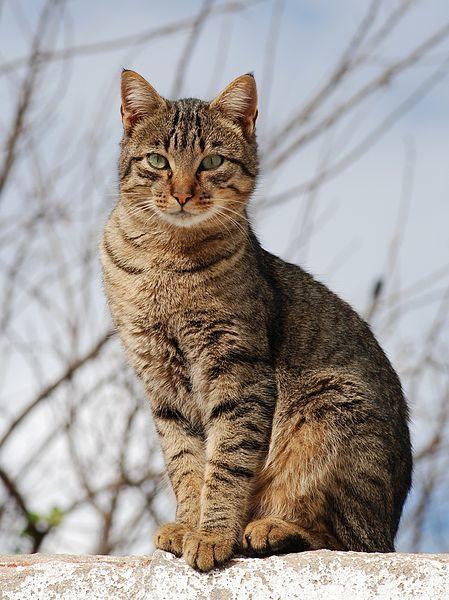 razas-de-gato-gatos-asiatico-humo-atigrado-cuerpo