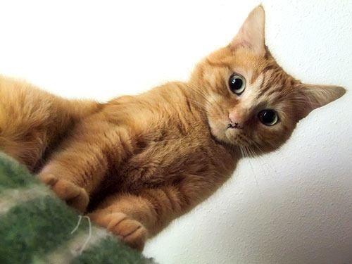 razas-de-gato-gatos-asiatico-humo-atigrado