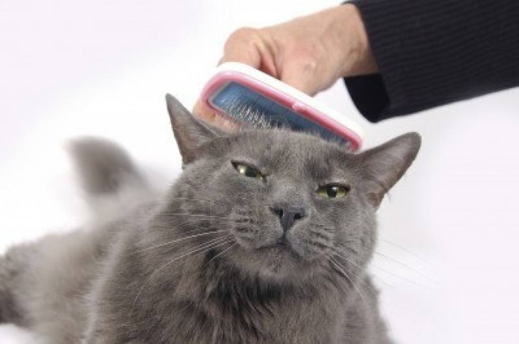 razas-de-gato-gatos-azul-ruso-cuidados