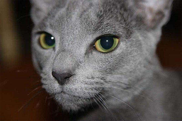razas-de-gato-gatos-azul-ruso