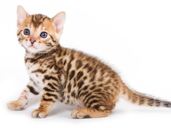 razas-de-gato-gatos-bengali-cuidados