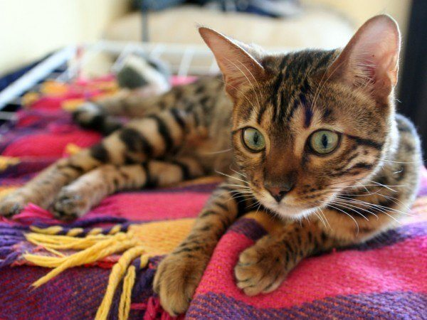 razas-de-gato-gatos-bengali