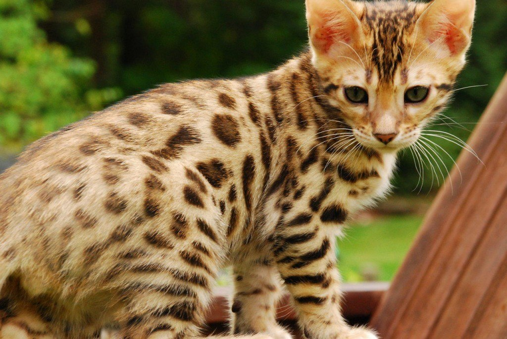 razas-de-gato-gatos-bengali-manchas-moteadas