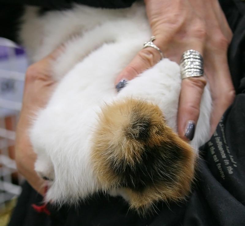razas-de-gato-gatos-bobtail-japones-cola