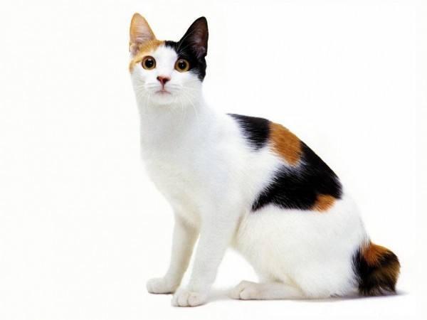 razas-de-gato-gatos-bobtail-japones-cuidados