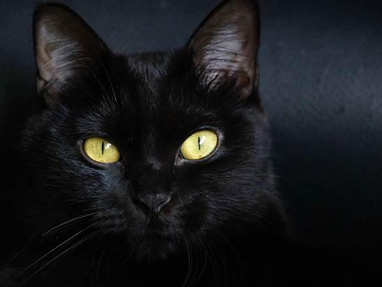 razas-de-gato-gatos-bombay-cuidados