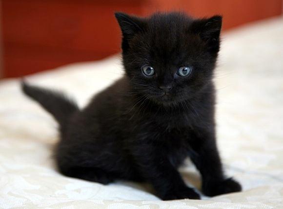 razas-de-gato-gatos-bombay