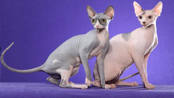 razas-de-gatos-sphynx-2