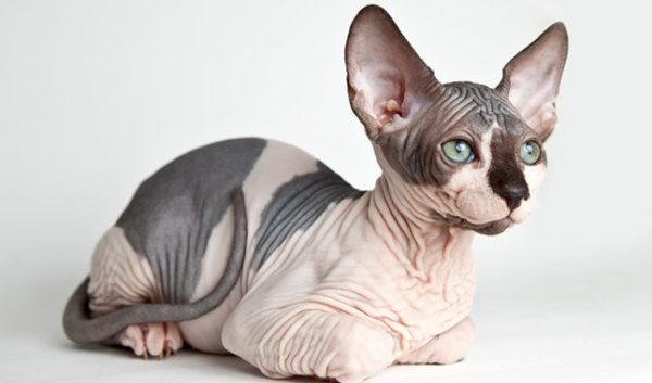 razas-de-gatos-sphynx